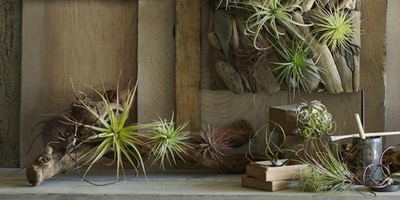 Living Art Series: Mounting Air Plants To Scrap Wood